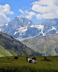 Mucche al piano di Rosim (giorgiorodano46) Tags: agosto2018 august 2018 giorgiorodano nikon solda parconazionaledellostelvio nationalparkstilfserjoch granzebrù königsspitze sudtirolo altoadige alpi alpen alps alpes mucche cows alpeggio