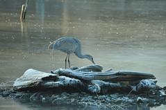 Hmm. Crunchy water to nibble on the logs. (reifelbirdsanctuary) Tags: winter frost wetland pond crane ice housepond reifelsanctuary fraserdelta rural wildlife bird photo sandhillcrane antigonecanadensis juvenile pacific coastal georgecreifelmigratorybirdsanctuary