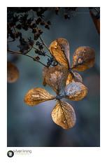 SLP18-8648.jpg (andypage7) Tags: vegetation batsford outdoors natural warwickshire batsfordarboretum arboretum nature hydrangea plant flora