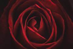 Presiento que eres tú aquello que muchos llaman la felicidad. (elena m.d.) Tags: rojo red macromondays nikon d5600 sigma sigma105 7dwf macrofotografia flower flores