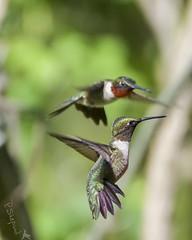 those boys  4-30-18_070 (pmsswim) Tags: boybirds thoselittlebirds rubythroatedhummingbird archilochuscolubris malerubythroatedhummingbird colibri inthegarden fromthearchives spring april 2018