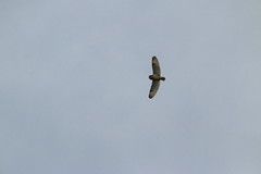 IMG_9777 (monika.carrie) Tags: monikacarrie wildlife seo shortearedowl forvie scotland owl