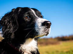 One Sunny November Morn (Captain192) Tags: dog dogs collie spaniel spanielcolliecross sprollie bordercollie portraits headshots eyes bluesky autumn heaths heathland grass fields trees nationalforest bagworth bagworthheath