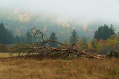 DSC00965 (andreavarju) Tags: nature naturephotography sony sonyalpha sonya6300 sonyphotography tree fallentree autumn autumncolours fallcolours