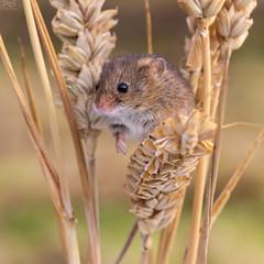 Eurasian harvest mouse (Micromys minutus) (RichardxS) Tags: 2018 autumn eastanglia england eurasianharvestmouse harvestmice mminutus micromysminutus november suffolk uk unitedkingdom