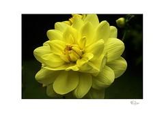 Yellow Dahlia (radspix) Tags: sony ilce 7r canon fd 3570mm f4 yellow dahlia