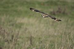 Short Eared Owl gliding over meadow (Ade Ludlam) Tags: short eared owl gliding hunting somerset raptor bird prey nature wildlife nikon d7200 sigma sigma150600