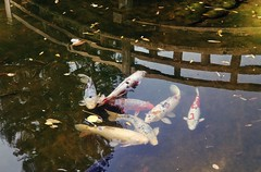 At the time of seven samurai (PeterThoeny) Tags: saratoga california usa siliconvalley sanfranciscobay sanfranciscobayarea southbay hakonegardens japanesegarden garden park bridge woodbridge arch woodarchbridge pond lake water fish koi reflection waterreflection day outdoors sony a7 a7ii a7mii alpha7mii ilce7m2 fullframe vintagelens dreamlens canon50mmf095 canon 1xp raw photomatix hdr qualityhdr qualityhdrphotography fav100