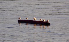 Sunning On a Log ... (Irene, W. Van. BC) Tags: sunningonalog logs drifting water waterscenes ocean oceanwater oceanscenes sunnyday beautifulnature birds birdsofafeather birdwatch birdsofbc bird bcbirds pacificcoastbirds gulls seagulls seawater smallbirds animalsbirds animals allanimals 1001nights 1001nightsmagiccity 1001nightsmagicpeacock