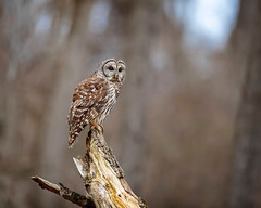 Waiting on the Night... (DTT67) Tags: barredowl owl raptor bird 500mm 1dxmkii canon maryland wildlife nature