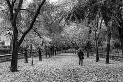 Otoño en blanco y negro (EDU S.G.) Tags: otoño autumn andalucia andalusia spain españa jaen city ciudad parque park fall hojas arboles trees leaves nikon d700 blancoynegro blackandwhite walk paseo umbrella paraguas street calle
