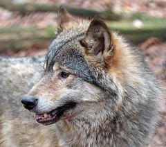 european wolf Ouwehands 094A0802 (j.a.kok) Tags: animal mammal zoogdier dier predator ouwehands wolf europe europa europeanwolf europesewolf