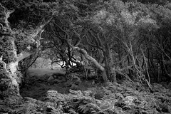 Ancient woodland (Rense Haveman) Tags: fujix100t scotland2017 holiday2017 ancientwoodland quercusrobur coastallandscape woodland trees forest landscape ferns bw blackwhite highcontrast