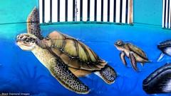 Caretta caretta - Loggerhead Turtles - Ages of the Tweed Mural, Commercial Road, Murwillumbah, NSW (Black Diamond Images) Tags: agesofthetweedmural jurassic jurassicperiod megafauna earthlearning mural art painting floodmitigationwall commercialrd commercialroad murwillumbah nsw murwillumbahartstrail appleiphone7plus iphone7plusbackdualcamera iphone7plus phone7plus iphone appleiphonepanorama panorama iphonepanorama appleiphone7pluspanorama caretta carettacaretta loggerheadturtles