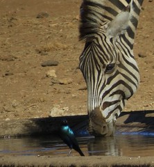 Zebra (Pixi2011) Tags: zebra wildlife krugernationalpark southafrica africa nature animals