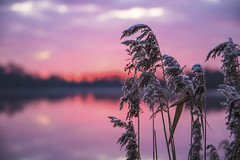 Dawn Reeds (CraDorPhoto) Tags: canon6d bokeh landscape reeds outdoors nature water lake reflection uk cambridgeshire sunrise dawn