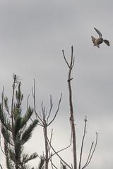 IMG_4467 (armadil) Tags: prairie ranchocorraldetierra bird birds kestrel americankestrel flying