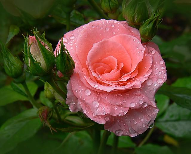 Обои капли, роза, сад, бутон картинки на рабочий стол, раздел цветы - скачать
