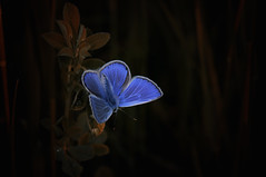 Natural blue (♥ ⊱ ╮Juergen╭~Secret Melody~) Tags: wildlife natural nikon meadow butterfly commonblue untouched