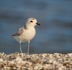 Gone In Sixty Seconds (Kathy Macpherson Baca) Tags: birds plover earth beach fly aves snowy nest florida migrate world nature preserve endangered tiny planet bays ocean inlets chicks
