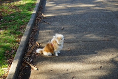 20181207-DSC01105 (PM Clark) Tags: chihuahua pure bred sydney park dog
