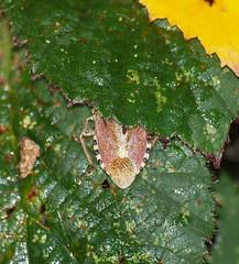 2018_10_0294 (petermit2) Tags: hairyshieldbug shieldbug stinkbug dolycorisbaccarum pottericcarr potteric doncaster southyorkshire yorkshire yorkshirewildlifetrust wildlifetrust ywt