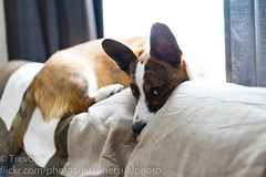Sunlit Sun (Kenjis9965) Tags: cardigan welsh corgi corgo pupper doggo sitting couch a7iii sonya7iii sonnar5518za sonnartfe1855 zeiss 55mm f18 za fe availablelight