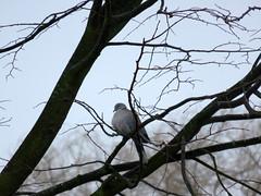 's Heerenhoek (Omroep Zeeland) Tags: duif de mist