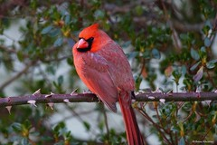 Male Northern Cardinal (Anne Ahearne) Tags: wild bird animal wildlife bush thorns rose nature red cardinal northerncardinal closeup