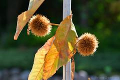 Sweet Chestnut (Bri_J) Tags: copenhagenbotanicalgarden botaniskhave universityofcopenhagen copenhagen denmark københavn danmark botanicalgardens park nikon d7500 sweetchestnut chestnut castaneasativa plant
