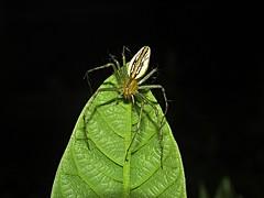 Araña lince (Peucetia sp.) (Santiago Bullard C.) Tags: arachnida arácnidosdelperú araña arañalince lynxspider spider oxyopidae peucetia araneae bug arácnido wildlifephotography wildlife ríoabiseo