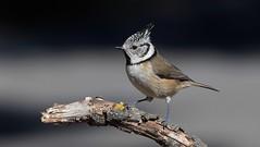 Crested Tit      (Lophophanes cristatus) (nick.linda) Tags: crestedtit lophophanescristatus tits wildandfree sierraespuña spain canon7dmkii canon100400mkll