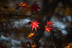 Fall Foliage (bacon.dumpling) Tags: arashiyama autumn fallfoliage fujifilmxpro2 fujinonxf50140mmf28rlmoiswr japan koyo kyoto leafchangingseason tenryujitemplegarden