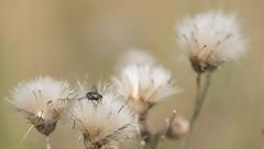 Prendre la mouche (Titole) Tags: luciliesoyeuse fly seeds titole nicolefaton