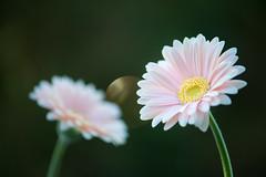 gerbera 6789 (junjiaoyama) Tags: japan flower plant gerbera pink winter macro bokeh sunlight