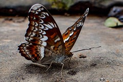 180727-047 Papillon (2018 Trip) (clamato39) Tags: papillon butterfly cambodge cambodia asia asie nature wild animal voyage trip olympus