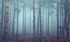 Jurassic Woods (Simon Verrall) Tags: woods forest severals theseverals midhurst westsussex sussex landscape dawn trees pine fog december