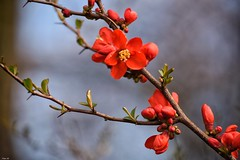 Japanese Quince! (Nina_Ali) Tags: japanesequince flower shrub red flora nature flowerart backlit depthoffield