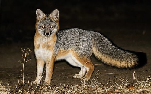 Grey Fox (Urocyon cinereoargenteus) at Night