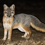 Grey Fox (Urocyon cinereoargenteus) at Night thumbnail