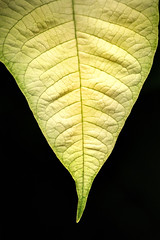 White Poinsettia Leaf 3-0 F LR 1-3-19 J170 (sunspotimages) Tags: flower flowers white whiteflower whiteflowers poinsettia poinsettias whitepoinsettia whitepoinsettias nature leaf leaves whiteleaf whiteleaves whitepoinsettialeaf whitepoinsettialeaves