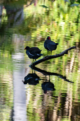 BH 1 7 19LO-0015 (Mary D'Elia) Tags: bonnethouse florida ftlauderdale birds gallinules moorhens slough water wildlife