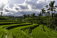 bali rice fields (Greg M Rohan) Tags: farm ricefarm indonesia bali palms palmtrees water ricefields ricefield rice trees rays clouds sky green fields d750 2018 nikkor nikon