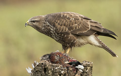 Common Buzzard (Ian howells wildlife photography) Tags: ianhowells ianhowellswildlifephotography nature naturephotography nationalgeographic canon canonuk birdofprey bird buzzard bbcspringwatch springwatch wildlife wildlifephotography wales wild wildbird wildbirds