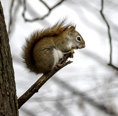 Eager for Spring (Portraying Life, LLC) Tags: cropapsc dbg6 hddfa150450 k1mkii michigan pentax ricoh topazaiclear unitedstates closecrop handheld nativelighting animal squirrel tree