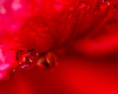 ECS_4151 (Deepak Kaw) Tags: red macro nature nikon tamron bokeh beautiful composition colours artistic drop droplet