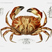 Dungeness crab vintage poster