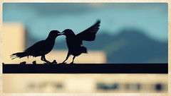 greetings (marneejill) Tags: silhouette finches canary fighting eating affection honolulu balcony yellow blue black