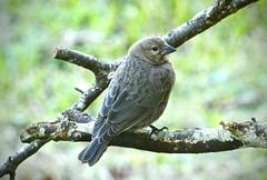 Brown-headed cowbird (schreckpeter45) Tags: cowbird brownheadedcowbird