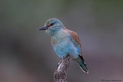 European Roller (leendert3) Tags: leonmolenaar southafrica krugernationalpark wildlife nature birds europeanroller ngc npc